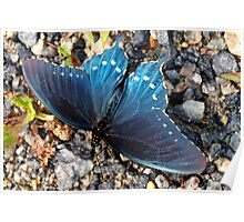 Blue butterfly Poster