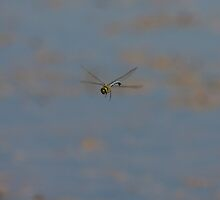 Emperor Dragonfly by Jon Lees