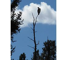 osprey silhoutte Photographic Print