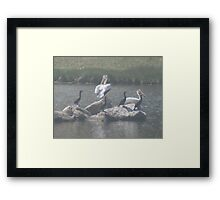 pelicans and cormorants fishing Framed Print