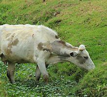 White Cow Grazing by rhamm
