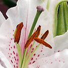 Exotic and Exquisite - White Oriental Lily  by BlueMoonRose