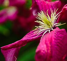 Clematis by Christine Kapler