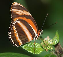 Majestic Banded Orange by drwjbrown