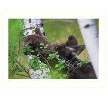 Young bull moose is back for dinner Art Print