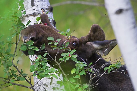 Young bull moose is back for dinner by amontanaview