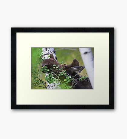 Young bull moose is back for dinner Framed Print