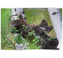 Young bull moose is back for dinner Poster
