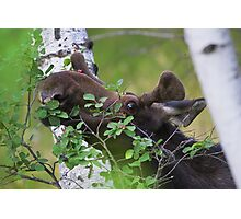 Young bull moose is back for dinner Photographic Print