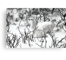 Ptarmigans in the Arctic Willow, Churchill, Canada  Canvas Print