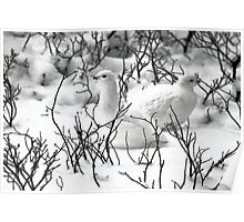 Ptarmigans in the Arctic Willow, Churchill, Canada  Poster