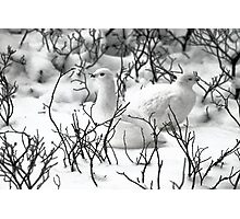 Ptarmigans in the Arctic Willow, Churchill, Canada  Photographic Print