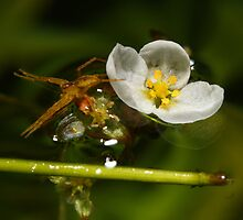 Brazilian elodea and a fishing spider by Bluecornstudios