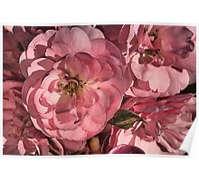 In the Pink with Roses Poster