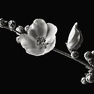 Chaparral Mallow In Black & White by Endre