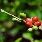 COFFEE BEAN BUSH QUEENSLAND AUSTRALIA by harper white