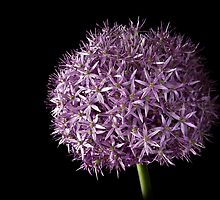 Allium by Endre