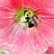 Hollyhock With Bee by Elizabeth Bennefeld