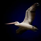 Pelican In Flight!  by Anna Ryan
