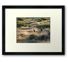 Shark Bay Roos Western Australia  Framed Print