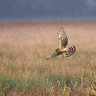 Hen Harrier by rhallam
