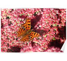 Comma Butterfly on Sedum Poster