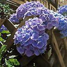 Hydrangea 2 by Bernadette Claffey