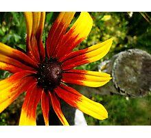 Rubeckia Sunshine Photographic Print