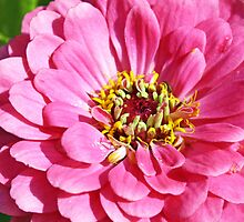 pretty pink zinnia  flower by liza scott