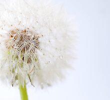 Dandelion 7 by Sabine Jacobs
