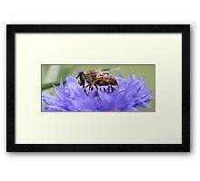 Honeybee - Knee Deep in Blue Amaranthus Framed Print