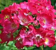 floribunda rose flower by liza scott