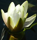 Water lilly by KatarinaD