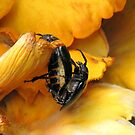 Prionus Laticollis Mating by Jean Gregory  Evans