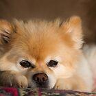 Cute White Pomeranian Dog by Robby Ticknor