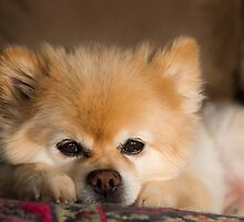 Cute White Pomeranian Dog by Robby Ticknor