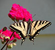 Tiger Swallowtail by © Betty E Duncan ~ Blue Mountain Blessings Photography