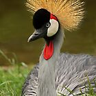 Grey Crowned Crane by Mark Hughes