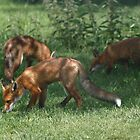 Red Fox #2 by Hovis