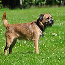 The Border Terrier by Dorothy Thomson