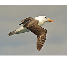 Black-browed Albatross Photographic Print