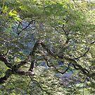 Japanese Maple by Hank Eder