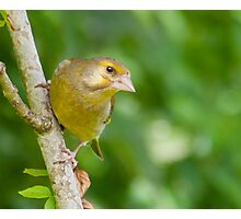 Greenfinch (female) Photographic Print