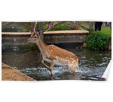 Deer in water Poster