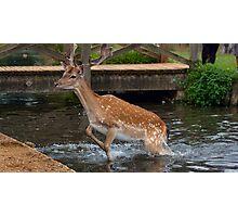 Deer in water Photographic Print