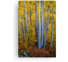 Golden Autumn Aspen Tree Portaits Canvas Print