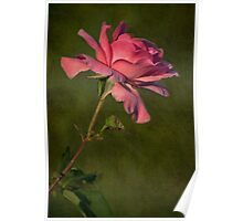 Full Blown Pink Rose with Textured Green Background Poster