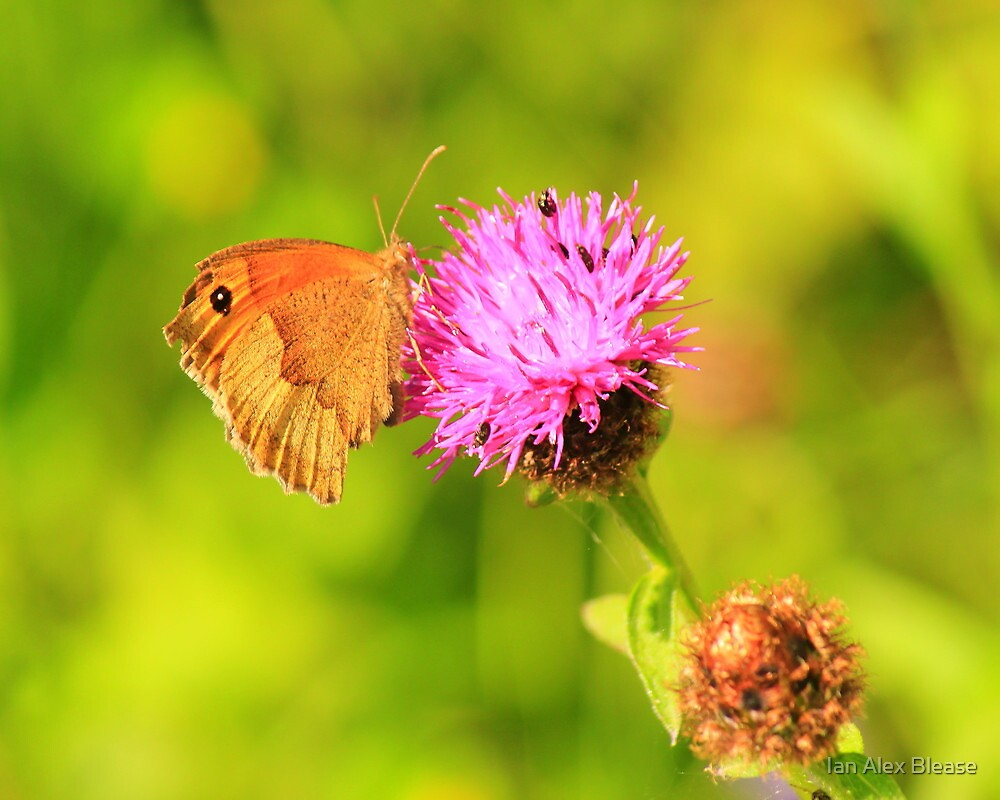 Meadow Brown Butterfly ( Maniola Jurtina) on Knapweed, Darlington,England by Ian Alex Blease