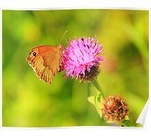 Meadow Brown Butterfly ( Maniola Jurtina) on Knapweed, Darlington,England Poster