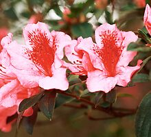 Closeup of azaleas blooming by Gaspar Avila